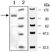 SDS-PAGE - PDE4C protein (Active) (ab95475)