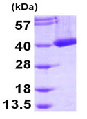 SDS-PAGE - mu Crystallin protein (His tag) (ab95496)