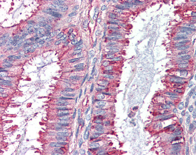 Immunohistochemistry (Formalin/PFA-fixed paraffin-embedded sections) - GPCR GPR27 antibody (ab95833)