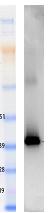 Western blot - Nanog protein (Human) (ab95846)