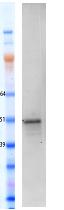 Western blot - FOXA2 protein (Human) (ab95848)
