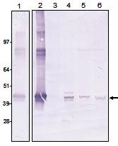 Western blot - Anti-Oct4 [PR-2H9] antibody (ab95854)