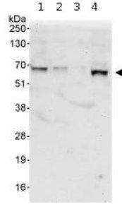 Western blot - Kinesin 2 antibody (ab95882)
