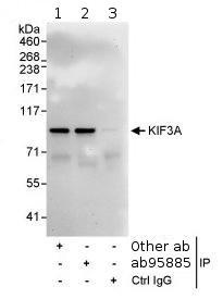Immunoprecipitation - KIF3A antibody (ab95885)
