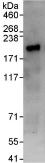 Immunoprecipitation - TNIK antibody (ab95887)