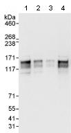 Western blot - ERC1 antibody (ab95889)