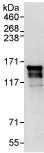 Immunoprecipitation - ERC1 antibody (ab95889)