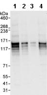Western blot - ERC1 antibody (ab95891)
