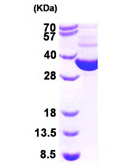 SDS-PAGE - GRHPR protein (His tag) (ab95913)