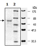 SDS-PAGE - SMURF1  protein (Active) (ab95928)