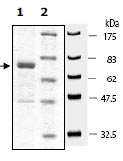SDS-PAGE - SMURF 2 protein (Active) (ab95930)