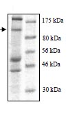 SDS-PAGE - WWP1 protein (Tagged) (ab95931)