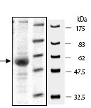 SDS-PAGE - XIAP protein (Active) (ab95933)