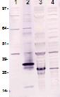 Western blot - Lin28 antibody [PR-3D1] (ab95938)
