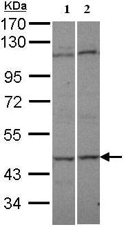 Western blot - C9orf98 antibody (ab95948)