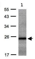 Western blot - RAB2B antibody (ab95952)