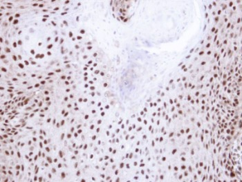 Immunohistochemistry (Formalin/PFA-fixed paraffin-embedded sections) - NHP2L1 antibody (ab95958)