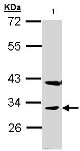 Western blot - PEX19 antibody (ab95959)