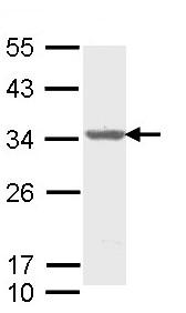 Western blot - Aly antibody (ab95962)