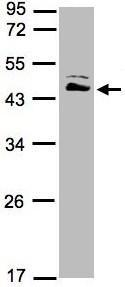 Western blot - ASS1 antibody (ab95964)