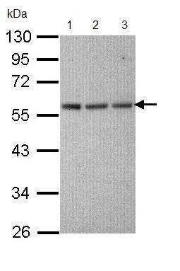 Western blot - TUBA1A antibody (ab95966)