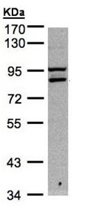 Western blot - FASTKD1 antibody (ab95968)