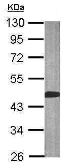 Western blot - BCAT2 antibody (ab95976)