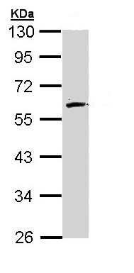Western blot - FMO2 antibody (ab95977)