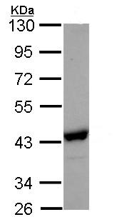 Western blot - NANS antibody (ab95978)