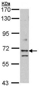Western blot - EXOC7 antibody (ab95981)