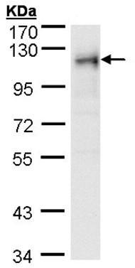 Western blot - RRBP1 antibody (ab95983)