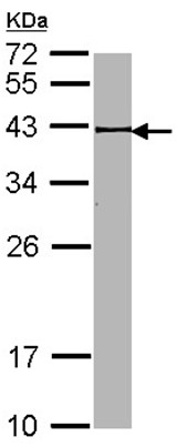 Western blot - BRCC45 antibody (ab95984)