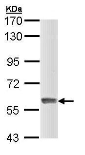 Western blot - IFIT3 antibody (ab95989)
