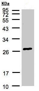 Western blot - GSTA2 antibody (ab95996)