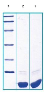 SDS-PAGE - S100G protein (ab96001)