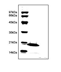 SDS-PAGE - CEACAM1 protein (ab96021)