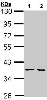 Western blot - CHI3L2 antibody (ab96046)
