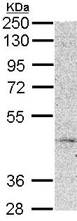 Western blot - MC5 Receptor antibody (ab96049)