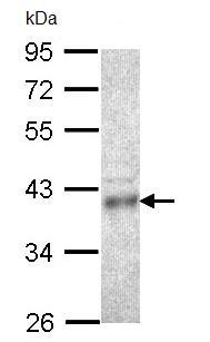 Western blot - Coproporphyrinogen Oxidase (CPOX) antibody (ab96061)