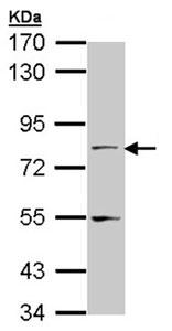 Western blot - NXF1 antibody (ab96078)
