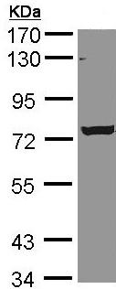 Western blot - C9orf96 antibody (ab96082)