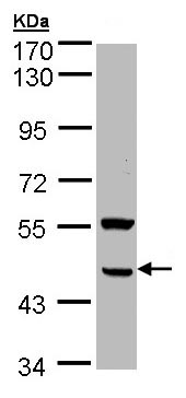 Western blot - DGAT2 antibody (ab96094)