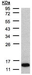 Western blot - COX6A2 antibody (ab96096)