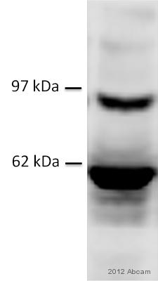 Western blot - Anti-CTBP2 antibody (ab96107)