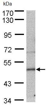 Western blot - SEPT7 antibody (ab96127)