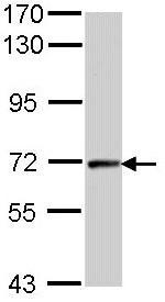 Western blot - Cyclin T2 antibody (ab96133)