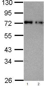 Western blot - Nucleoporin p62 antibody (ab96134)
