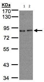 Western blot - ZYG11BL antibody (ab96146)