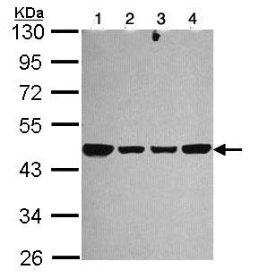 Western blot - NDUFS2 antibody (ab96160)