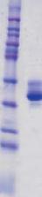 SDS-PAGE - Prostate Specific Antigen protein (ab96163)